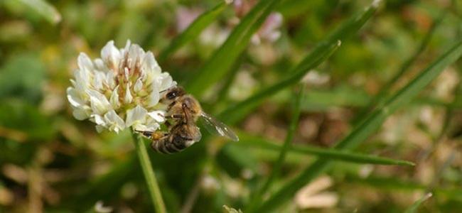 abeille pollinisant une fleur