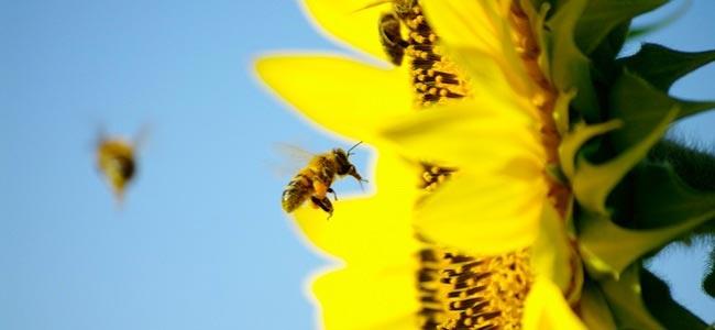 abeille en vol près d'un tournesol