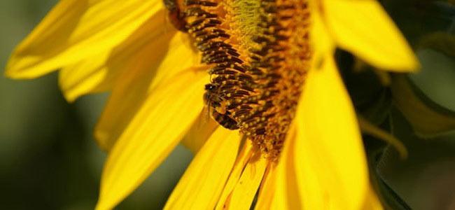 abeille de nos ruches sur un tournesol de la Drôme !