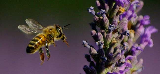 Abeille de nos ruches allant sur de la lavande