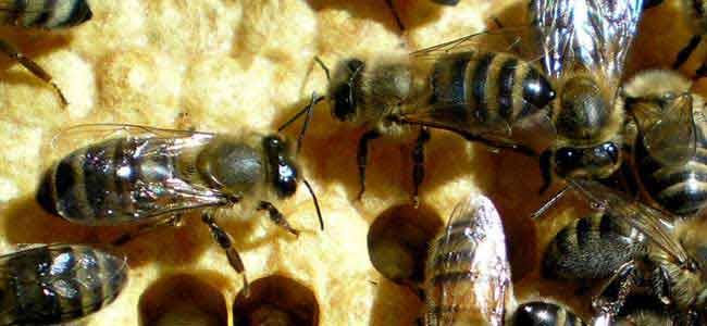 Abeilles de nos ruches vues en macro